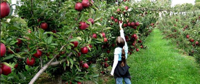 apples.jpg.jpe