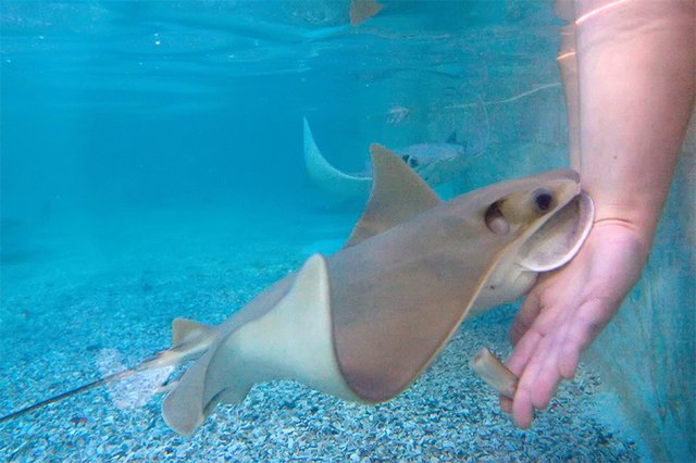 news_milwaukeezoo_stingrays.jpg.jpe