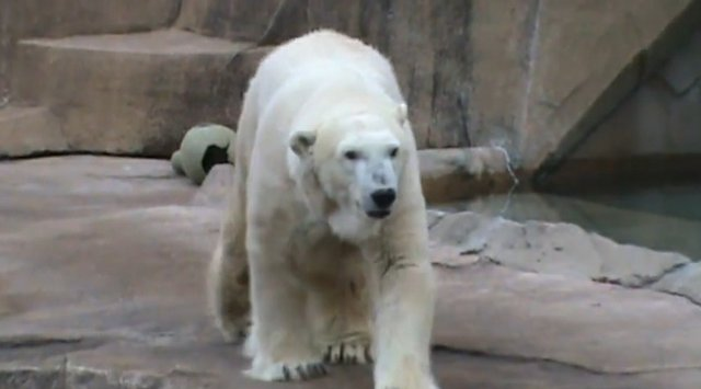 wilhem milwaukee county zoo polar bear.jpg.jpe