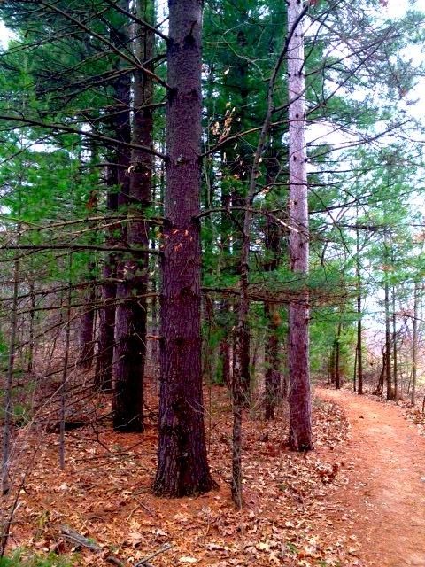 pine forest.jpg.jpe