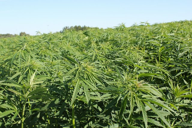 IndustrialHemp.jpg