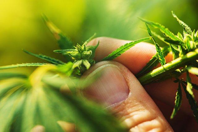 Cannabis_Portugal.jpg