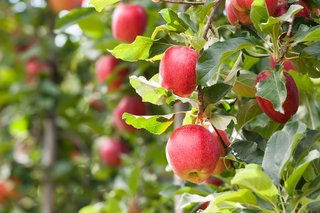 Apples_Jules_Kitano.jpg