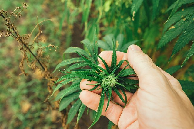 Hemp_Cannabis1_farm.jpg