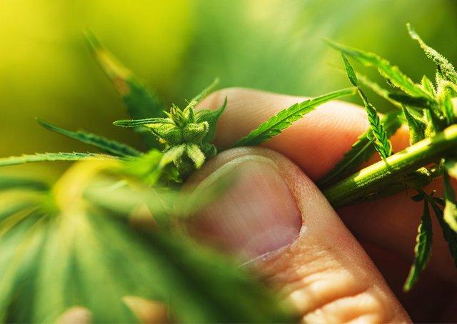 Cannabis1_CloseUpHemp.jpg