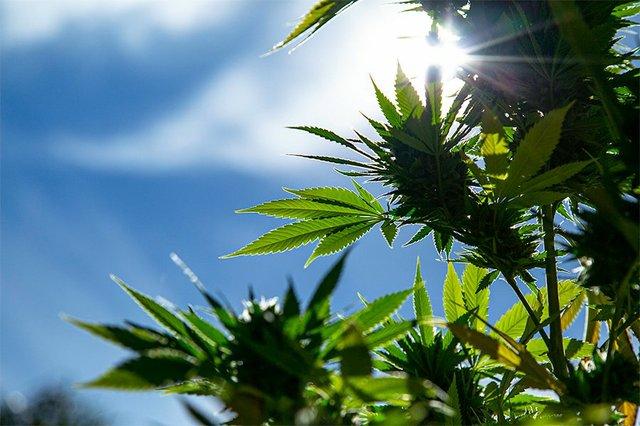 CannabisTwo.jpg