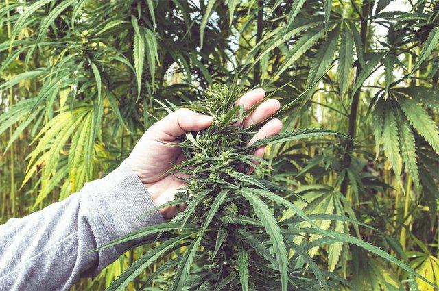 Cannabis2_HempFarmer.jpg