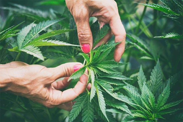 Cannabis_plant.jpg